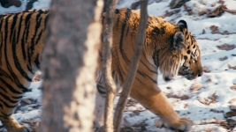 tiger_1_sundance